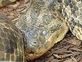 Anakonda zolta (Eunectes notaeus).jpg