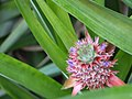 Ananas comosus (6935164421).jpg
