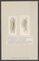 Ancillaria - Print - Iconographia Zoologica - Special Collections University of Amsterdam - UBAINV0274 005 01 0036.tif