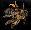 Andrena clarkella, F, back, Hancock co 2014-01-06-13.59.52 ZS PMax (11861162855).jpg