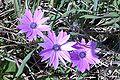 Anemone hortensis2.JPG