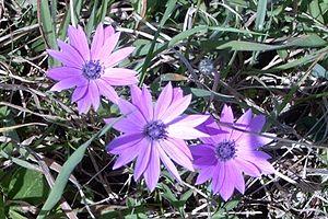 Anemone hortensis - Image: Anemone hortensis 2