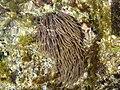 Anemonia re.jpg
