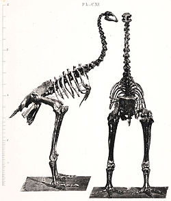 Anomalopteryx.jpg
