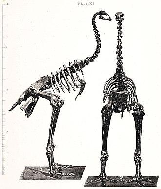Bush moa - Anomalopteryx didiformus skeleton