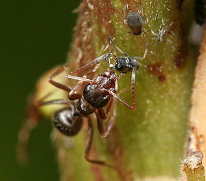 Aphid - Ant extracting honeydew from an aphid