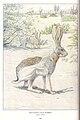 Antelope Jackrabbit.jpg