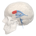 Anterior horn of lateral ventricle - 04.png