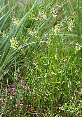 Grannen-Ruchgras (Anthoxanthum aristatum)