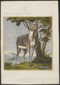 Antilope spec. - 1767-1779 - Print - Iconographia Zoologica - Special Collections University of Amsterdam - UBA01 IZ21400027.tif