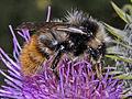 Apidae - Bombus (Pyrobombus) pyrenaeus tenuifasciatus..jpg