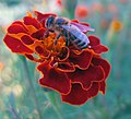 Apis mellifera on Tagetes sp. flower crop.jpg