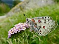 Apollo (Parnassius apollo) (35539659392).jpg