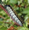Aporia.crataegi.caterpillar.jpg