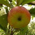 Apple, Fryšták (1).jpg