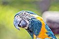 Ara Glaucogularis head Ft.Worth Zoo.JPG