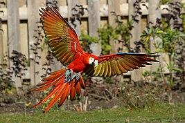 Ara macao -Diergaarde Blijdorp -flying-8a.jpg