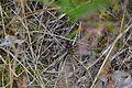 Araignées, insectes et fleurs de la forêt de Moulière (Le Gâchet de Villiers) (28842822890).jpg
