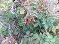 Araneus diadematus Tonini underside.jpg
