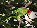 Aratinga -San Francisco -feral parrot-8.jpg