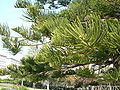 Araucaria heterophylla leaves.jpg