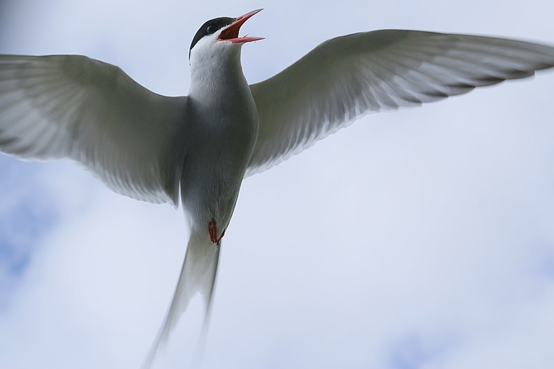 File:Arctic tern 8664.jpg