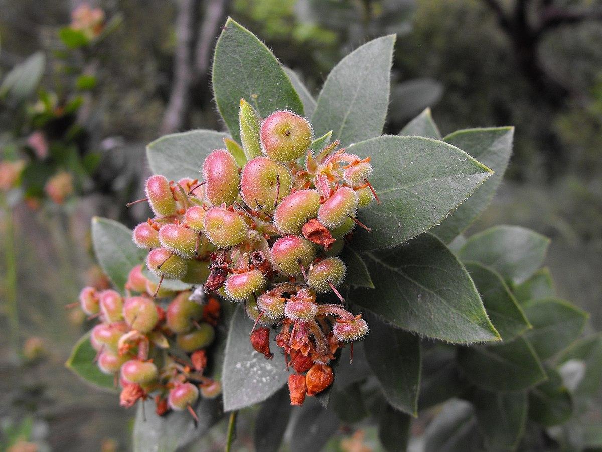 Arctostaphylos Montaraensis Wikipedia