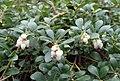 Arctostaphylos uva-ursi kz06.jpg