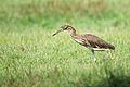 Ardeola bacchus, Chinese pond heron - Rot Fai Park - Bangkok (11741996183).jpg