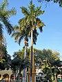 Arecales - Roystonea regia - 2.jpg