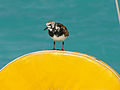 Arenaria interpres -Anegada, British Virgin Islands -perching on a boat-8b.jpg