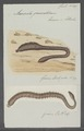 Arenicola piscatorum - - Print - Iconographia Zoologica - Special Collections University of Amsterdam - UBAINV0274 102 14 0003.tif