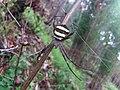 Argiope pulchella at badikhel forest.jpg