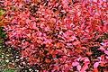 Aronia leaves on a rainy autumn day in Tuntorp 1.jpg