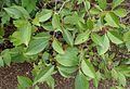Aronia melanocarpa var elata kz1.jpg