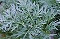 Artemisia absinthium L. (absintalsem).jpg