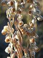 Artemisia frigida (5033869197).jpg
