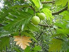 Exemplar de fruta-pão no Havaí