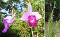 Arundina graminifolia (10957339015).jpg