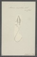 Ascaris mystax - - Print - Iconographia Zoologica - Special Collections University of Amsterdam - UBAINV0274 104 03 0015.tif