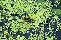 Asian predatory wasp (Vespa velutina var. nigrithorax).jpg