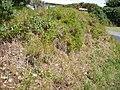 Asparagus aethiopicus 'Sprengeri' L. (AM AK309217-2).jpg