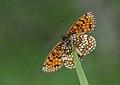 Assmann's Fritillary - Mellicta britomartis 1.jpg