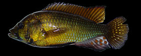 Description de l'image Astatoreochromis-alluaudi-LakeRweru-GB.jpg.