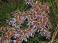 Asteraceae - Aster sedifolius-2.JPG