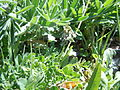 Astragalus alpinus (6120419129).jpg