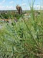 Astragalus vesicarius subsp. vesicarius sl13.jpg