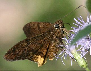 <i>Astraptes</i> genus of insects