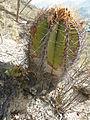 Astrophytum ornatum (5754119716).jpg