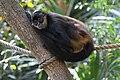 Ateles geoffroyi Belize Zoo 04.JPG